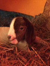 Boer Goat Kid