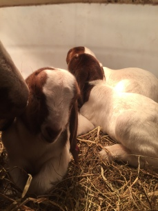 Boer Goat Kids in Heating Barrel