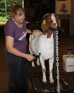 Fitting Sr Boer Doe for Show