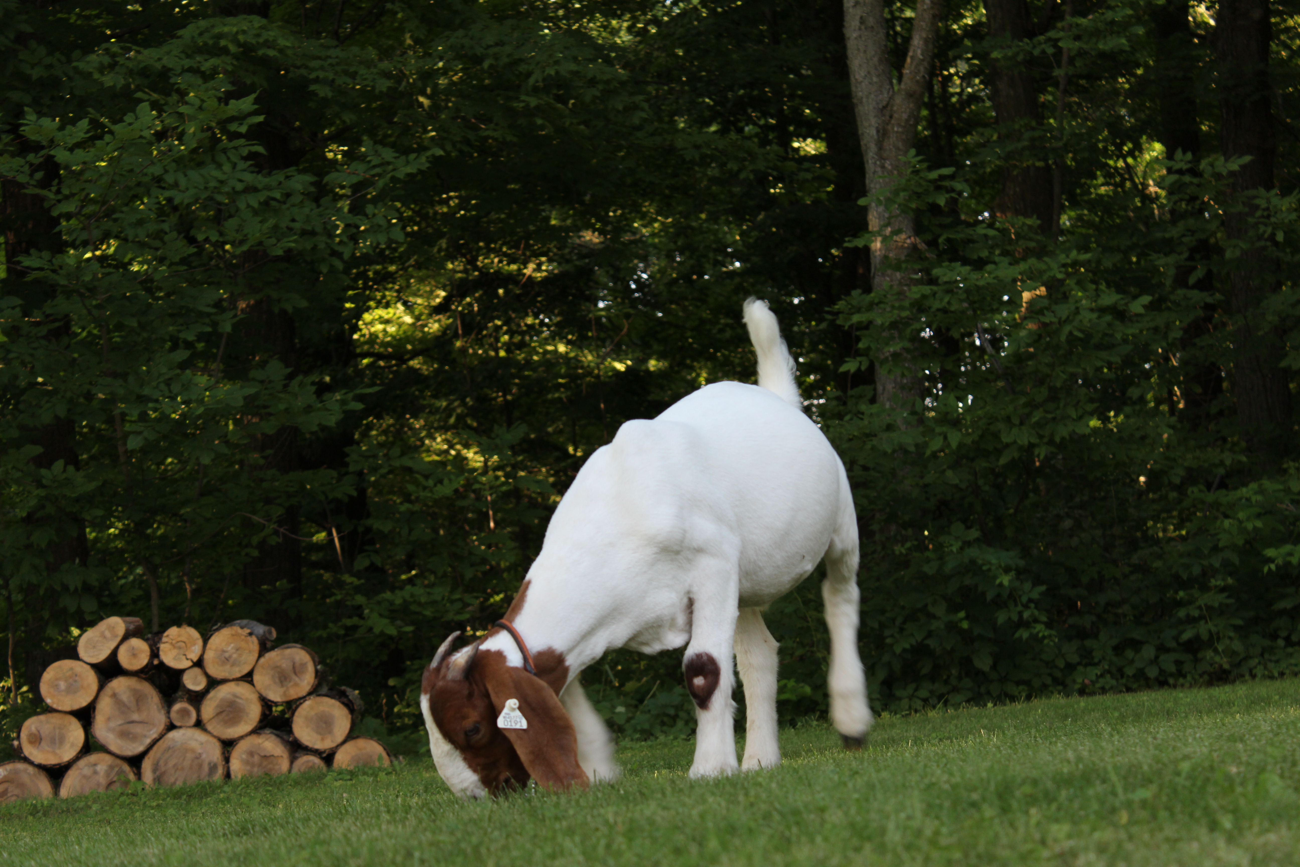 Boer Goat Wether – Hog Creek Boer Goats