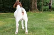 2018 Boer Goat Doeling