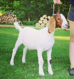 Boer Goat wether