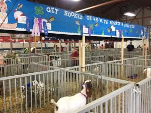 County Fair Boer Goats